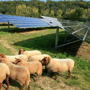 sheep in field with solar panels